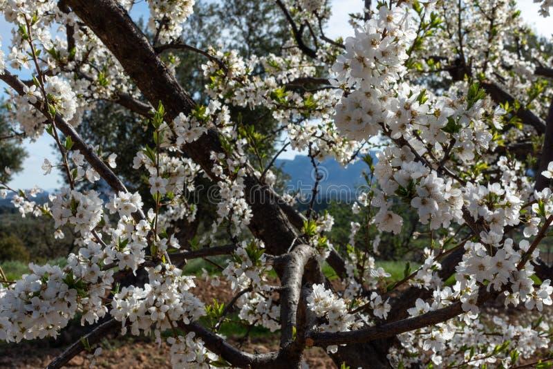 Blommablomningar av plommonträdet i fältet arkivfoto