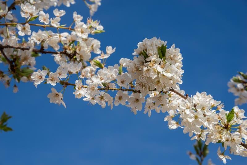 Blommablomningar av plommonträdet i fältet royaltyfria bilder