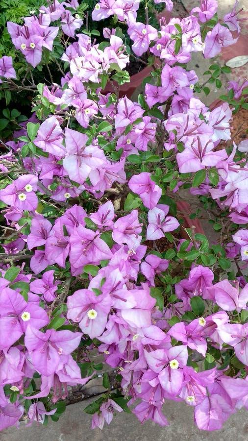 Blommabougainvillea arkivfoton