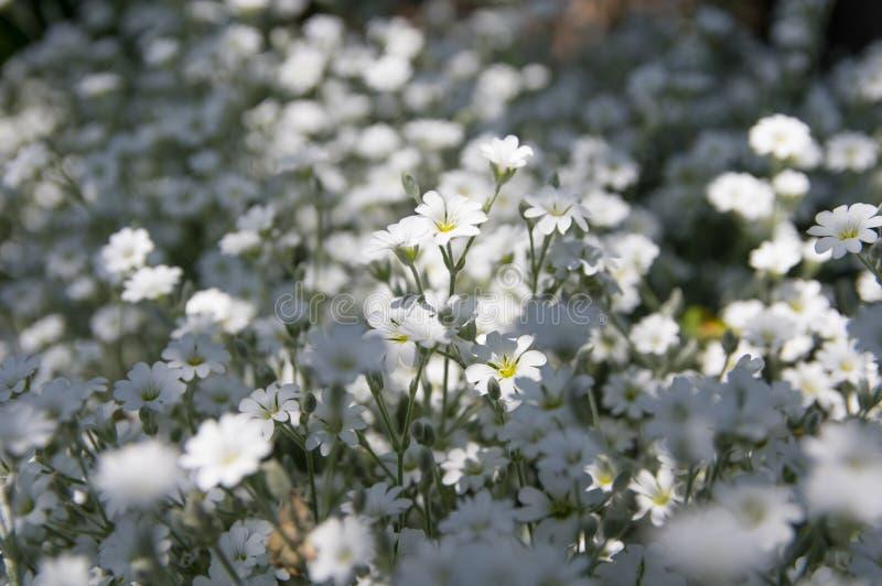 BlommaCerastiumnärbild arkivbild