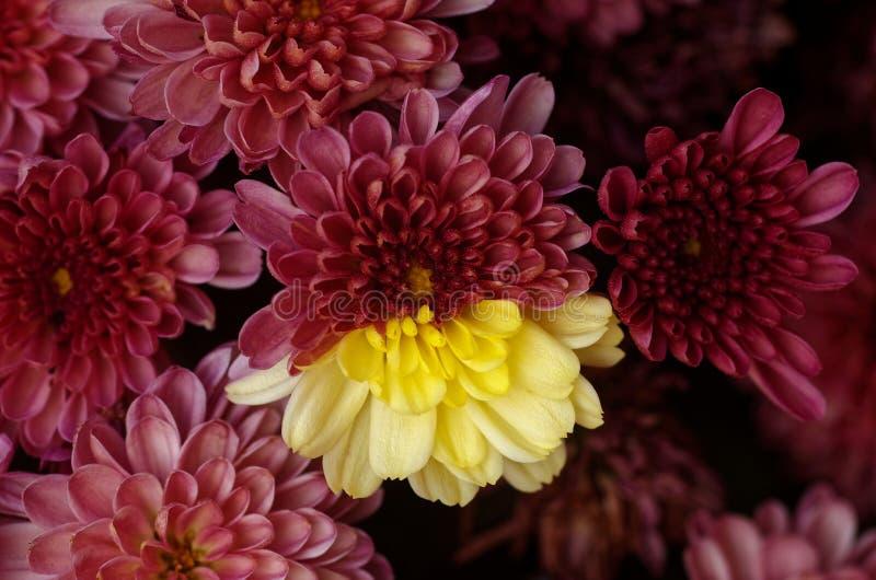 Blommade den hybrid- krysantemumet för Bifärg i den samma växten royaltyfri bild