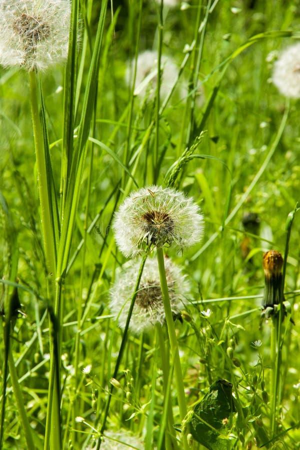 Blommade maskrosor fotografering för bildbyråer