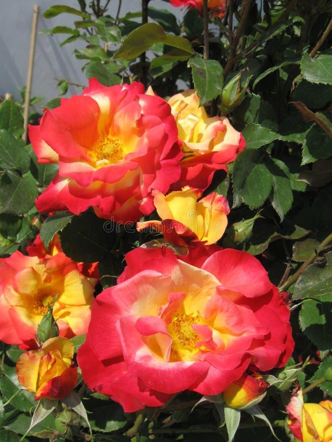 Blommade rosor arkivbilder