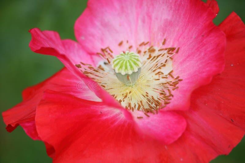 Blommadetalj och stigma arkivbild