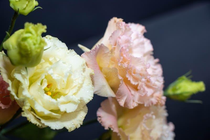 Blommaeustoma, härliga kinesiska rosor, delikata färger arkivbilder