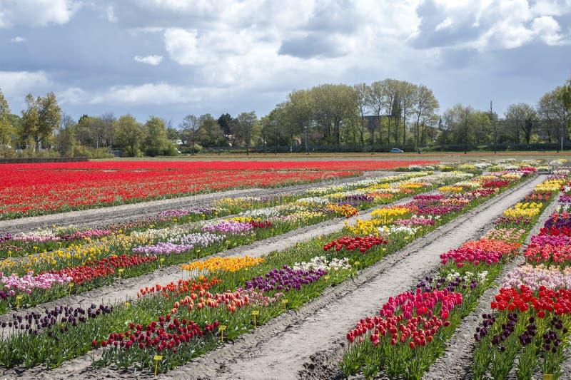 Blommafält i närliggande Nederländerna Keukenhofen royaltyfri bild