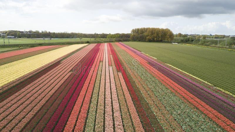 Blommafält i Nederländerna arkivbilder