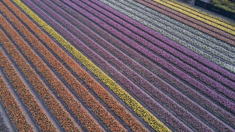Blommafält i Nederländerna royaltyfria foton