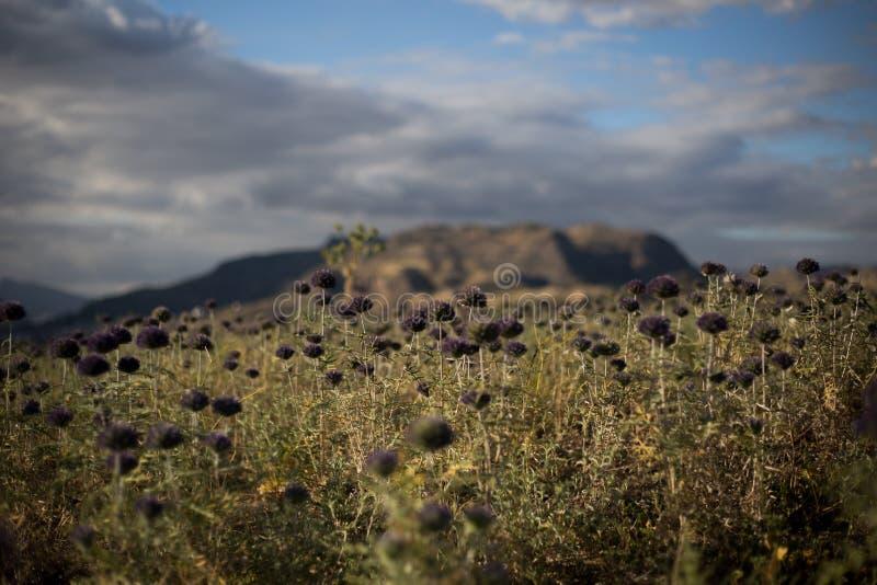 Blommafält med en bergbakgrund och moln royaltyfria foton