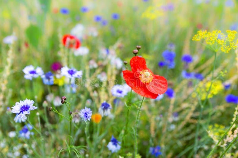 Blommafält med vildblommor och infödda örter, djurlivlivsmiljö royaltyfri foto