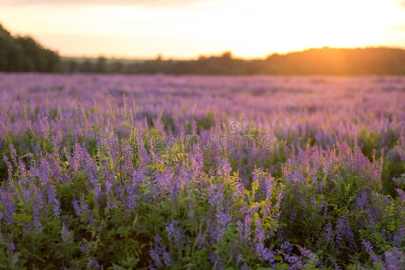Blommafält på solnedgången royaltyfri foto