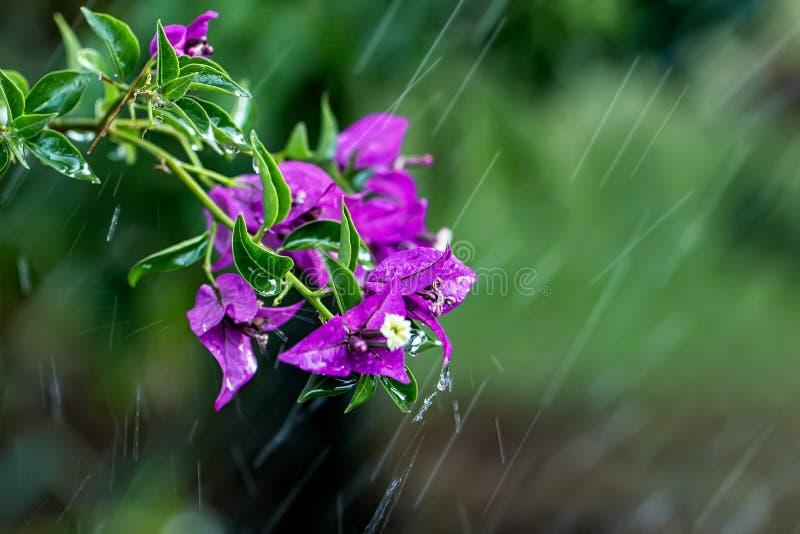 Blommafilial av bougainvillean i rörelse som orsakas av regndroppar i trädgården fotografering för bildbyråer