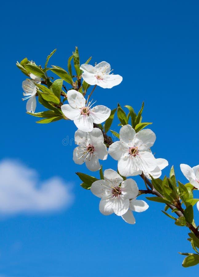 blommafjäderwhite royaltyfri bild