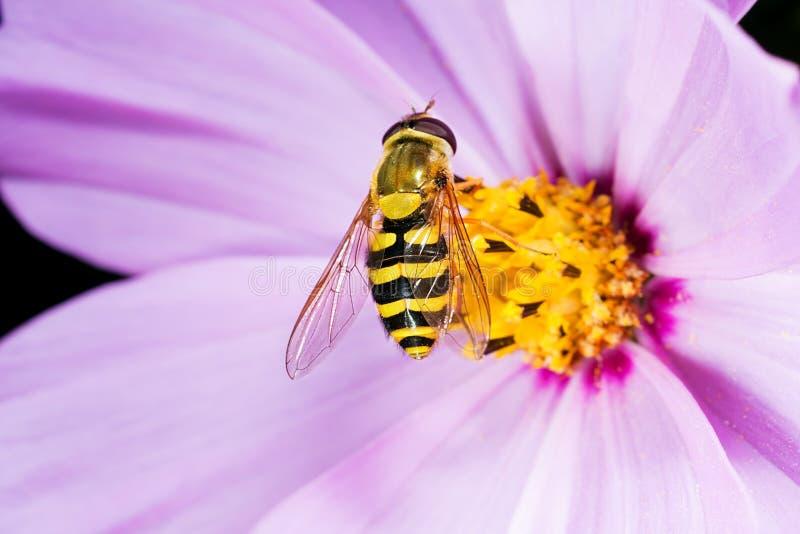 Blommafluga Makro arkivbilder