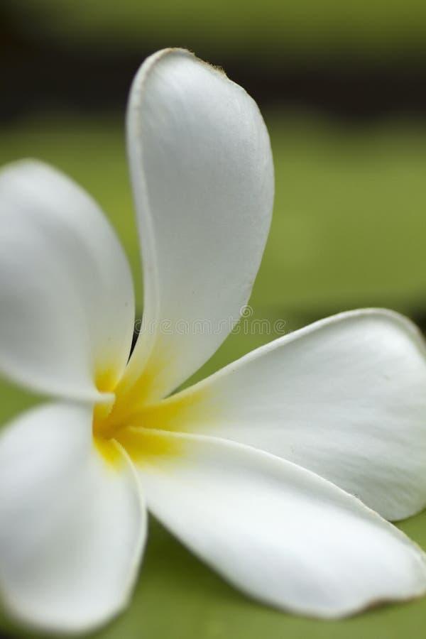 blommafrangipani fotografering för bildbyråer