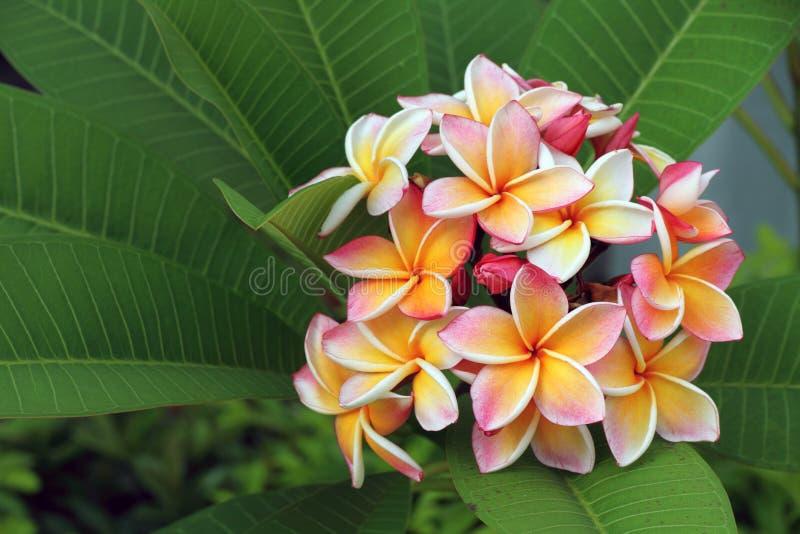 blommafrangipaniplumeria royaltyfri bild
