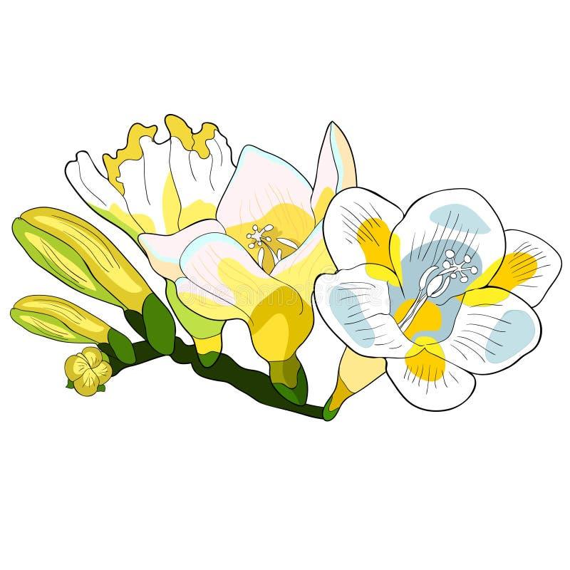 Blommafreesiasort av irisvektorillustrationen vektor illustrationer