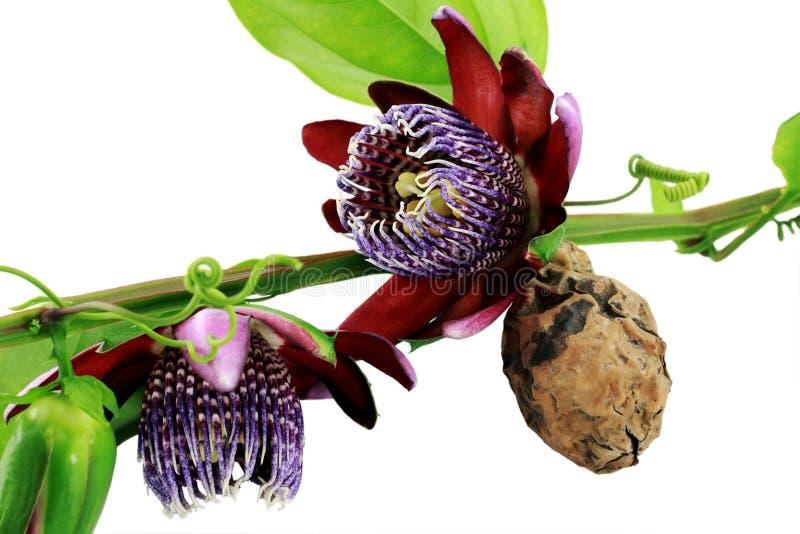 blommafruktpassiflora royaltyfria bilder