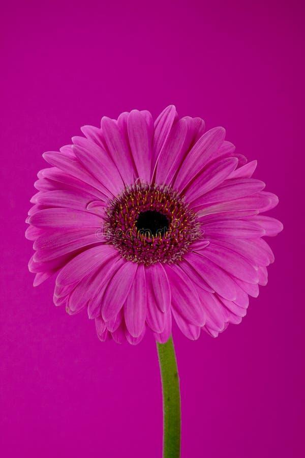 blommagerbera royaltyfria bilder