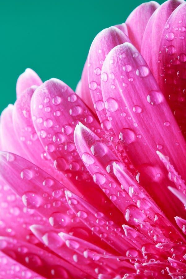blommagerberpink royaltyfri foto