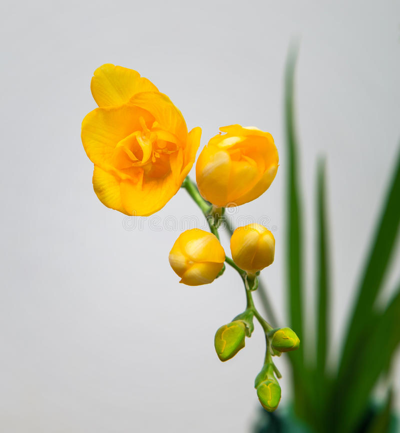 Blommagrov spik av gul freesia royaltyfria foton