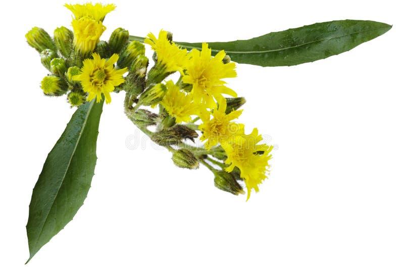 blommahawkweedgräns royaltyfria bilder