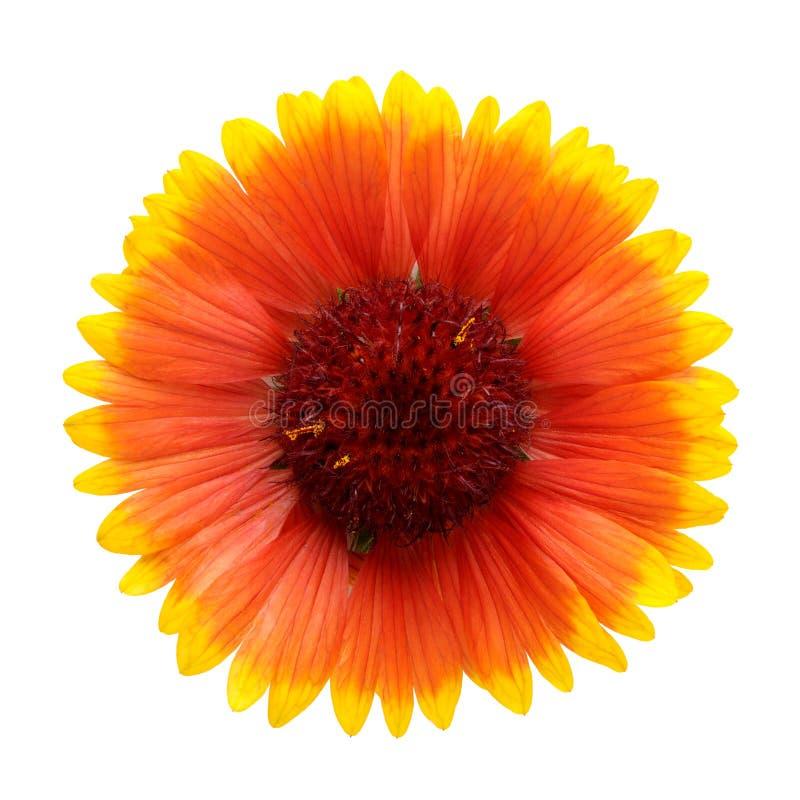 blommahelenium royaltyfri foto