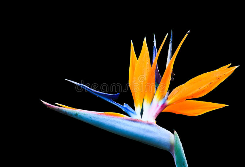 blommaheliconia arkivfoto