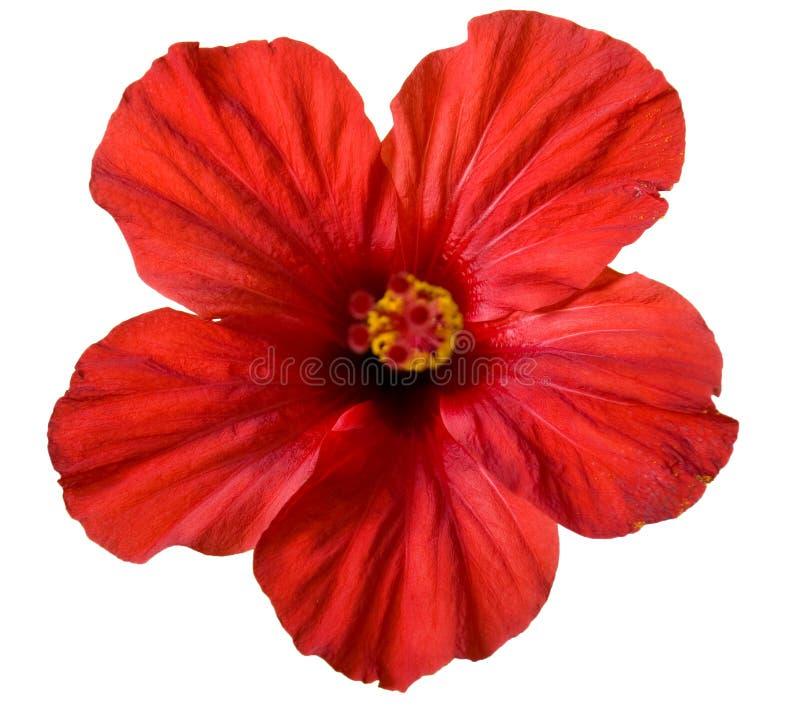 blommahibiskusred arkivfoton