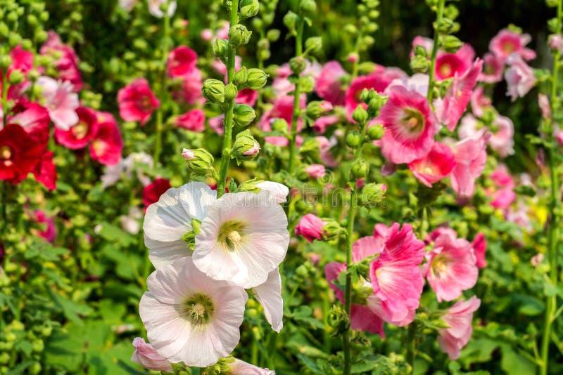 BlommaHolly Hock (stockros) vit och rosa färger i trädgården royaltyfri bild