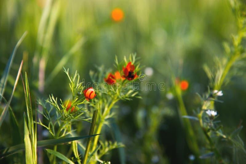 Blommahuvud av en liten fältvallmo på solnedgången i närbild för grönt gräs med solilsken blick arkivfoto