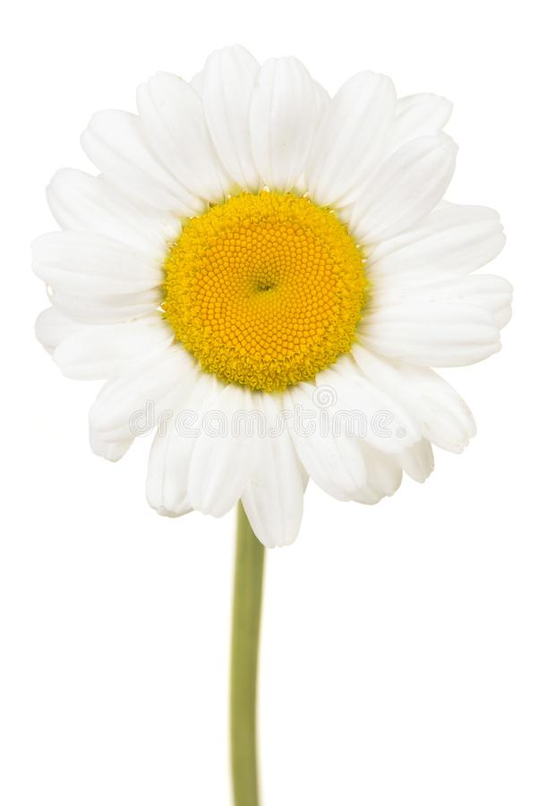 Blommahuvud för stor vit tusensköna med stammen som tillbaka isoleras på en vit royaltyfri bild