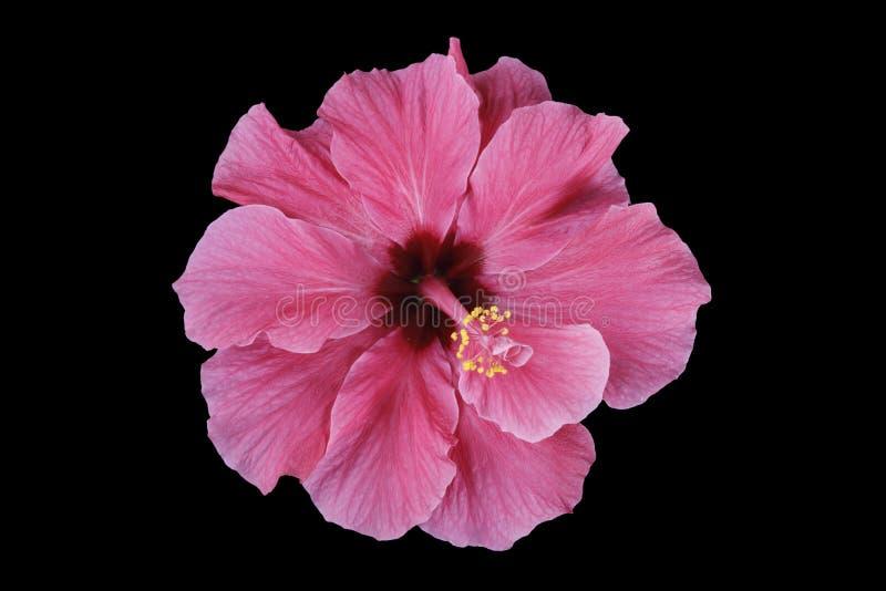 blommaibiscuspink arkivfoton