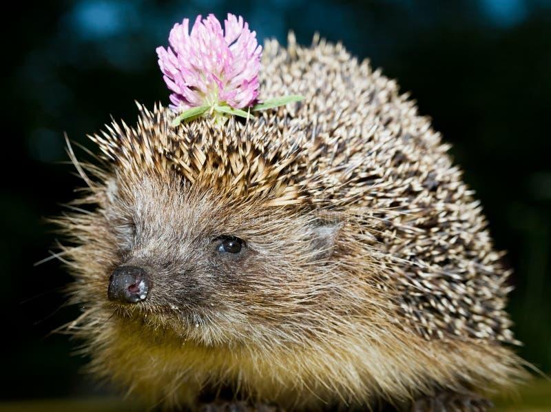 blommaigelkott arkivfoton