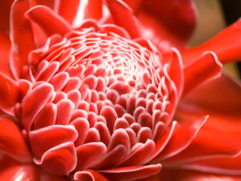 blommaingefära royaltyfri bild