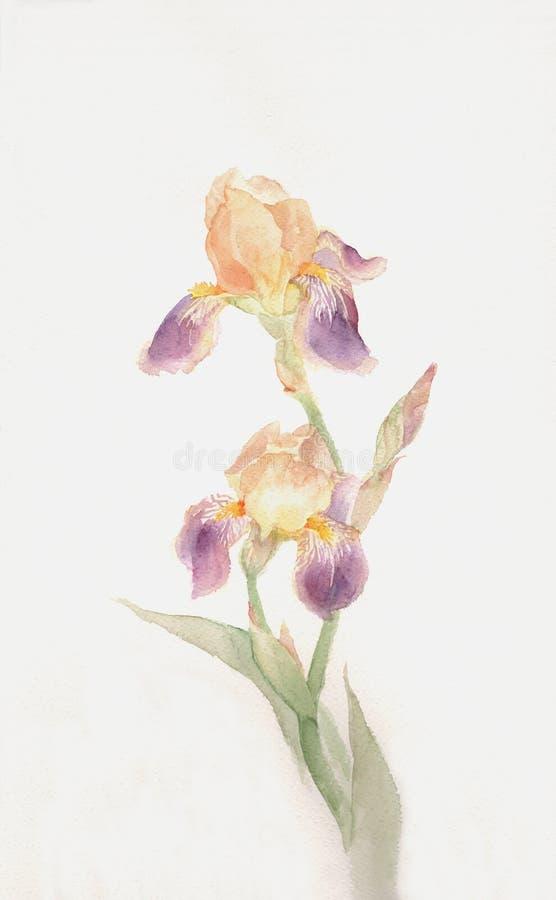 blommairis som målar purpur vattenfärgyellow stock illustrationer