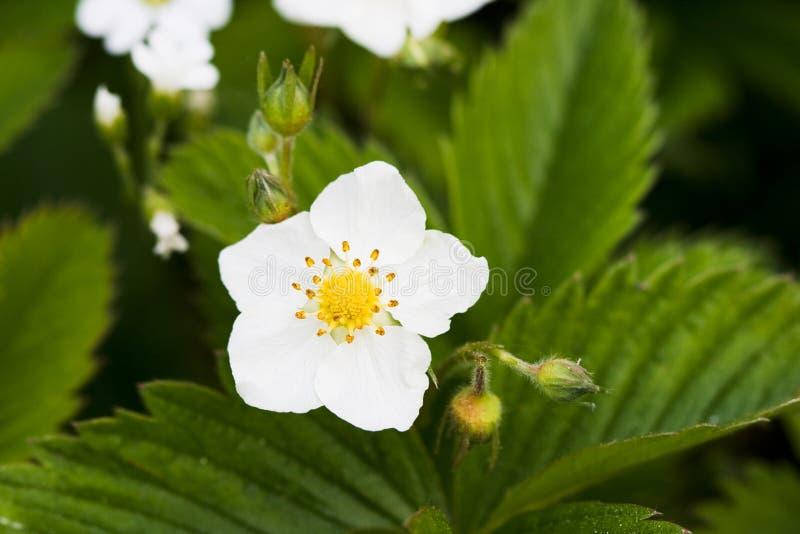 blommajordgubbewhite royaltyfri fotografi