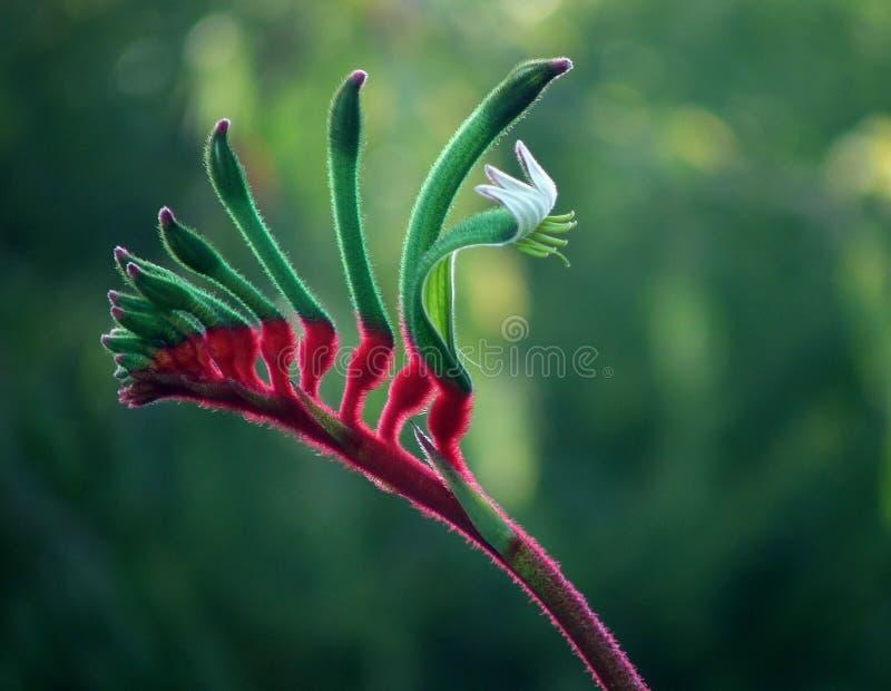 blommakängurun tafsar royaltyfri foto