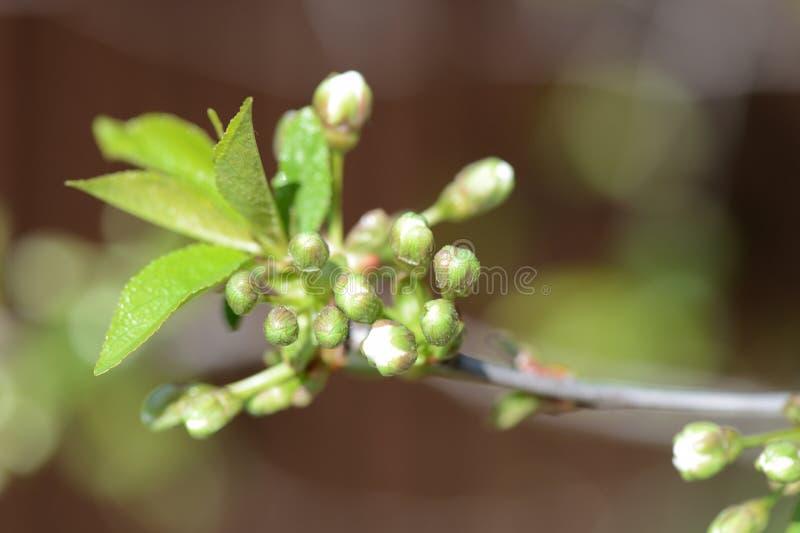 Blommaknoppar på en filial av ett körsbärsrött träd royaltyfria bilder
