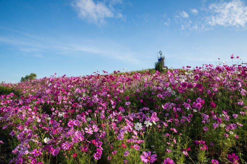 Blommakosmosträdgård royaltyfria bilder