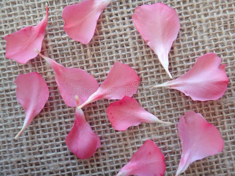 Blommakronblad - oleander arkivfoton