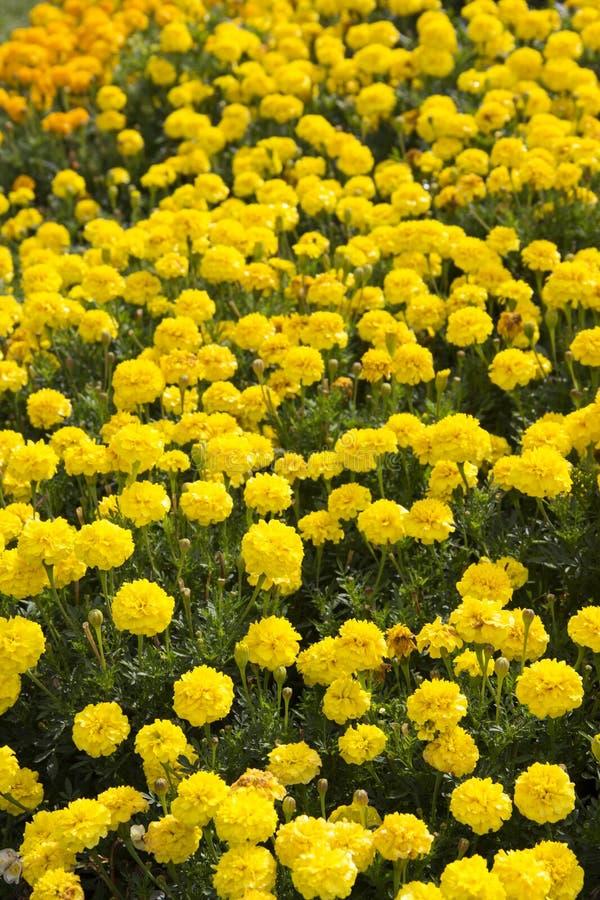 Blommalapp av gula ringblommor royaltyfria bilder