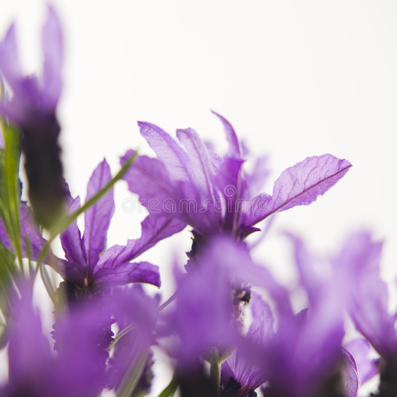 blommalavendel royaltyfri foto