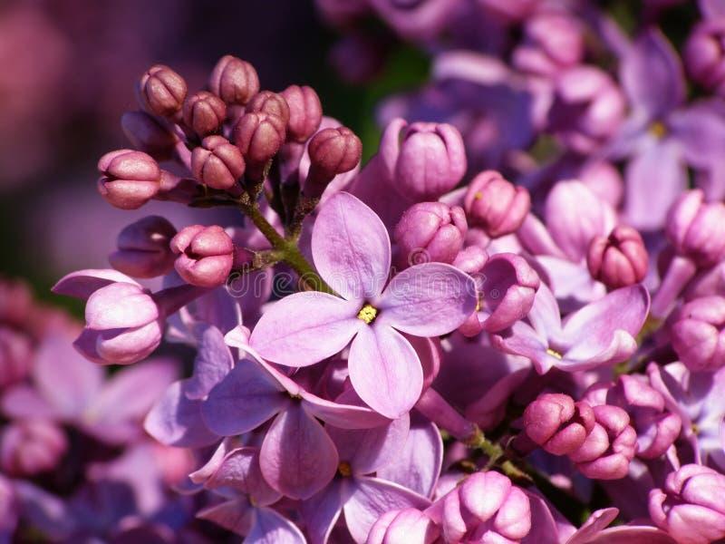 blommalila arkivbild