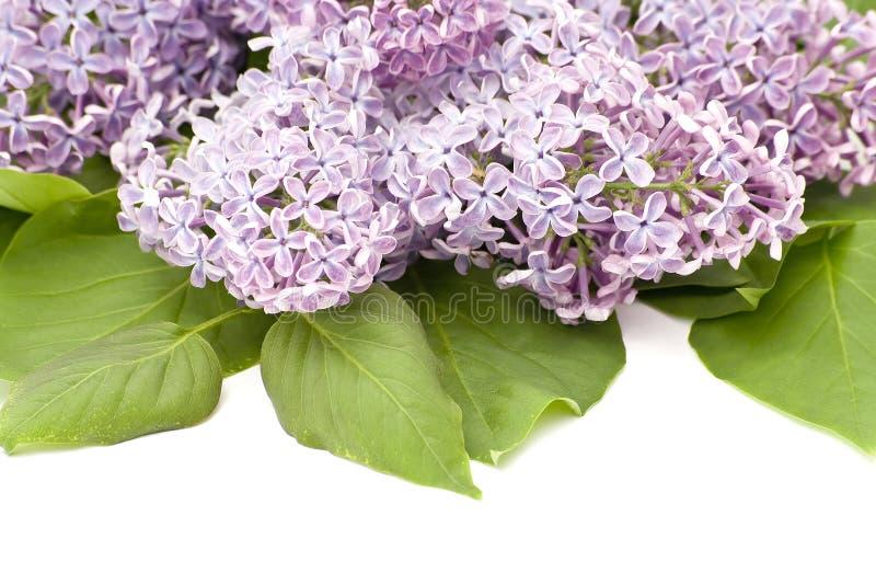 blommalila arkivfoton