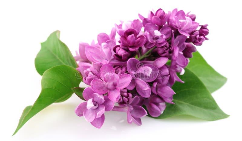 blommalilafjäder royaltyfri bild
