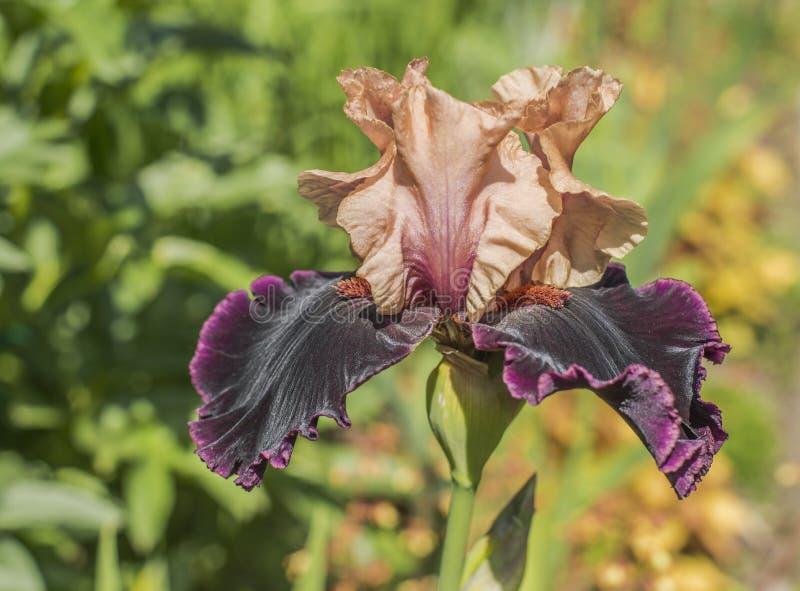Blommalilairis arkivbilder
