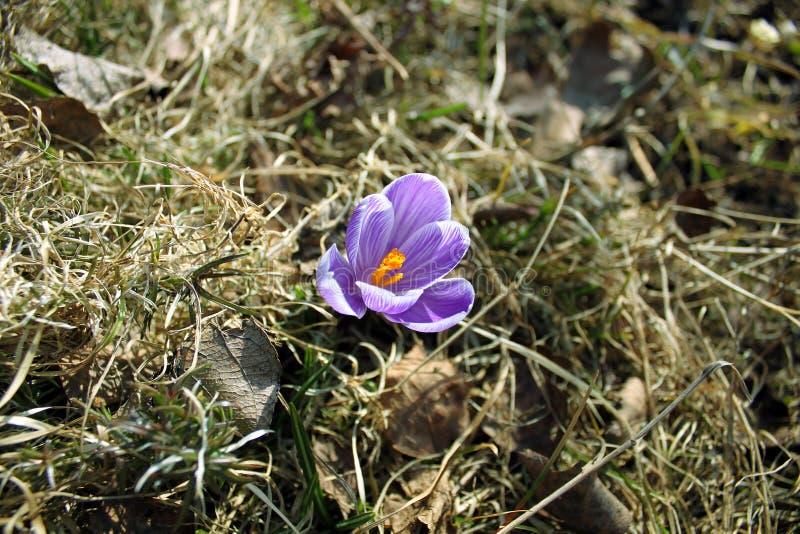 Blommalilakrokus fotografering för bildbyråer