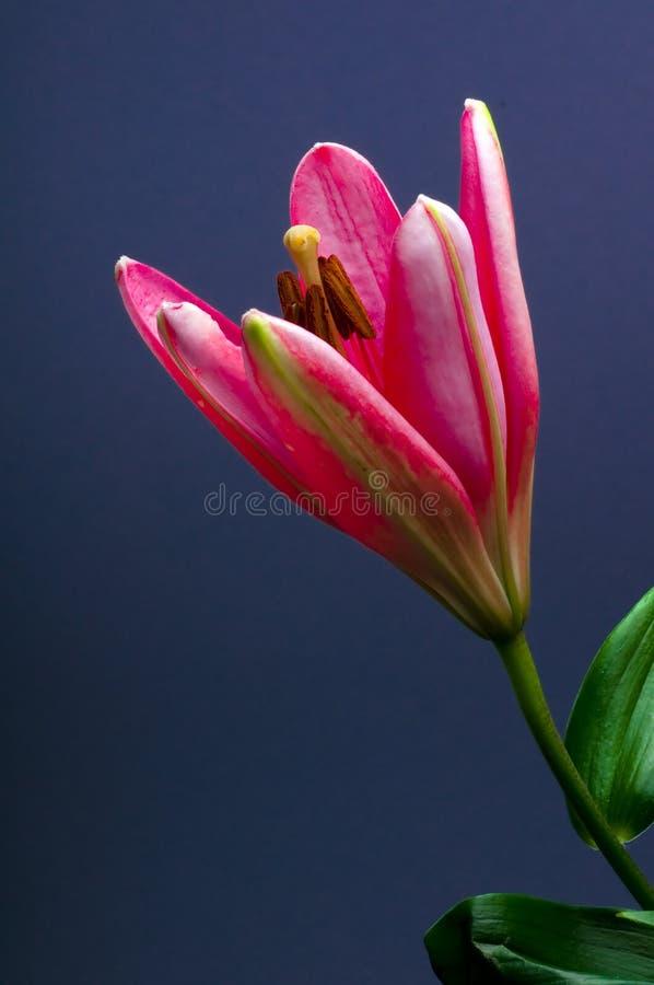 blommaliljapink royaltyfria foton