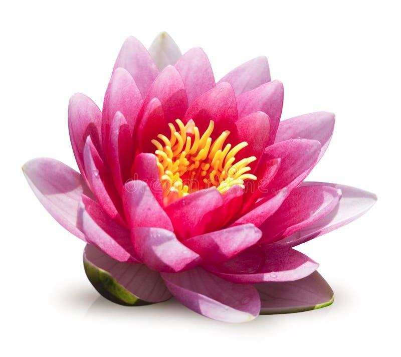 blommaliljavatten royaltyfri fotografi